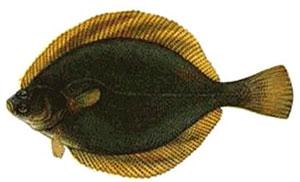 Flounder yellowfin