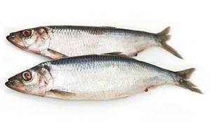 Pacific herring