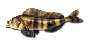 Perch mackerel