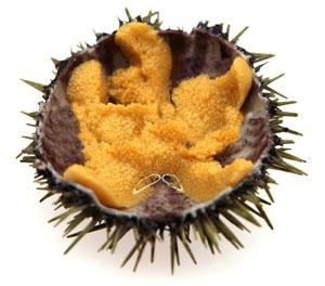 Sea urchin gray