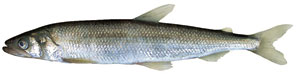Smelt-Asian-toothy-1