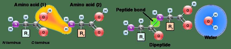 Содержание аминокислот