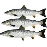Купить лосось оптом
